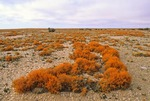 LICHEN FOREST, NAMIB DESERT. ORANGE NAMIB LICHEN, TELESCHISTES CAPENSIS, NAMIBIA