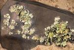 FOLIOSE LICHENS ON A DESERT ROCK. WELWITSCHIA DRIVE, NAMIB DESERT, NAMIBIA