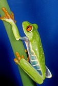 RED-EYED TREE FROG, AGALYCHNIS CALLIDRYAS, CENTRAL AMERICA