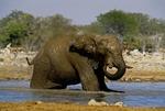 AFRICAN ELEPHANT MUD BATHING, GOAS WATERHOLE, ETOSHA NATIONAL PARK, NAMIBIA