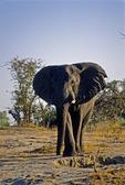 AFRICAN ELEPHANT BULL WITH FLARED EARS, GOAS WATEWRHOLE, ETOSHA, NAMIBIA