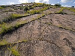 Enchanted Rock, Central Texas, Coreopsis growing in fractures lines of exfoliating granitic slabs. STA-ENC-21-19