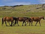 HORSES WALKING NEAR AHU TE PITO KURA, EASTER ISLAND