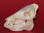 SKULL OF JAVELINA OR COLLARED PECCARY