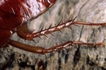 AMERICAN COCKROACH; SPINES ON LEGS