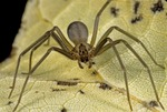 THE DANGEROUS BROWN RECLUSE SPIDER SHOWING CHARACTERISTIC MARKINGS, ADULT FEMALE