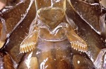 PECTINES OF A SCORPION, OPISTHACANTHUS LEPTURUS, PANAMA