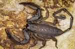 FLATROCK SCORPION, ONE OF WORLD'S LARGEST SCORPIONS, SOUTHERN AGRICA