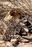 CHEETAH, ACIONYX JUBATUS, AT OKONJIMA, NAMIBIA