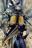 WOLF SPIDER FEEDING ON A CAPTURED FIELD CRICKET, TRANS-PECOS TEXAS