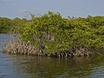 RED MANGROVE, RHIZOPHORA MANGLE, GROWING IN A SHALLOW LAGOON, BONAIRE