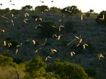 SUNSET FLIGHT OF MEXICAN FREETAIL BATS FROM FRIO CAVE, TEXAS