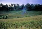 TERRACED FIELDS OF MATURE RICE, BALI, INDONESIA