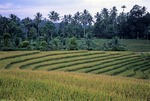 TERRACED FIELD OF MATURE RICE, BALI, INDONESIA