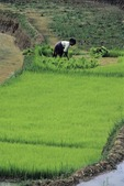 YOUNG RICE PLANTS BEING GROWN FOR PLANTING, WEST SUMATRA, INDONESIA