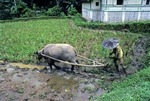 MAN PLOWING RICE PADDY WITH A WATER BUFFALO, WEST SUMATRA, INDONESIA