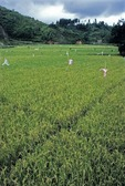 RICE FIELDS WITH FLAGS TO FRIGHTEN RICE FINCHES, WEST SUMATRA, INDONESIA