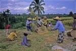 WOMEN THRESHING RICE, TEGALLALANG, BALI, INDONESIA