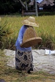BALINESE WOMAN WINNOWING RICE, TAGALLALANG, BALI, INDONESIA