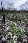TYPICAL SLASH & BURN AGRICULTURE, YUCATAN, MEXICO