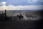 COWBOYS HERDING CATTLE, HELPED BY HORSES & HERDING DOGS. UTAH.