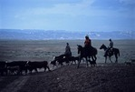 COWBOYS HERDING CATTLE, HELPED BY HORSES & HERDING DOGS. UTAH.