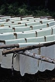 SHEETS OF RAW LATEX HANGING ON POLES FOR DRYING, MALAYSIA