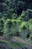 CLOVE TREES, NORTH SULAWESI, INDONESIA
