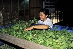 FEEDING MULBERRY LEAVES TO LARGER SILKWORM CATERPILLARS, SIEM REAP, CAMBODIA