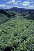 SUNGEI PALAS TEA PLANTATION, CAMERON HIGHLANDS, MALAYSIA