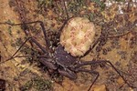 FEMALE SCORPION-SPIDER CARRYING 1ST INSTAR YOUNG, COLIMA, MEXICO