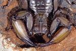 MALE FLATROCK SCORPION, HADOGENES GRANULOSUS, FROM SOUTHERN AFRICA