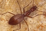THE ENDANGERED TOOTH CAVE GROUND BEETLE, RHADINE PERSEPHONE, CENTRAL TEXAS