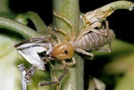 SUNSPIDER ON YUCCA WITH CAPTURED YUCCA MOTH, HIGH PLAINS OF TEXAS