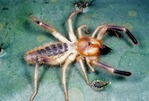 ATTRACTIVE & HAIRY SUNSPIDER