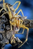 SUNSPIDER (WINDSCORPION) FROM NORTH AFRICA