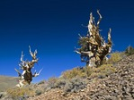 GREAT BASIN BRISTLECONE PINES, PINUS LONGEAVA, WHITE MOUNTAINS, CALIFORNIA