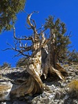 GREAT BASIN BRISTLECONE PINE, PINUS LONGEAVA, WHITE MOUNTAINS, CALIFORNIA