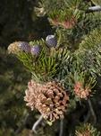 CONES OF THE GREAT BASIN BRISTLECONE PINE, PINUS LONGEAVA, CALIFORNIA