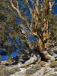 GREAT BASIN BRISTLECONE PINE, PINUS LONGEAVA, WHITE MOUNTAINS, CALIFORNIA