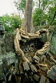 TREE ROOTS OVERGROWING BUILDING, TA PROHM, ANGKOR, CAMBODIA