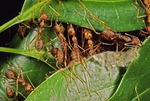 ASIATIC WEAVER ANT, OECOPHYLLA SMARAGDINA, PULLING LEAF EDGES TOGETHER FOR BINDING