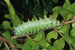 COLORFUL LAST CATERPILLAR OF THE CECROPIA MOTH, HYALOPHORA CECROPIA