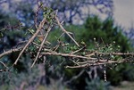 GIANT WALKINGSTICK. SEVEN JUVENILES CAMOUFLAGED ON PRICKLEY ASH. CENTRAL TEXAS