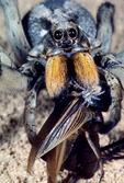 WOLF SPIDER FEEDING ON A CAPTURED FIELD CRICKET, TRANS-PECOS TEXAS
