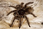 GOLIATH BIRDEATING TARANTULA, THERAPHOSA BLONDI, WORLD'S LARGEST SPIDER, NORTHERN SOUTH AMERICA