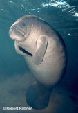 Manatee rising to surface to breathe