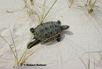 Diamondback Terrapin on sand dunes to nest and lay eggs