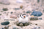 Piping Plover with eggs on nest