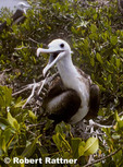 Magnificent frigatebird (juvenile) on nest in mangroves